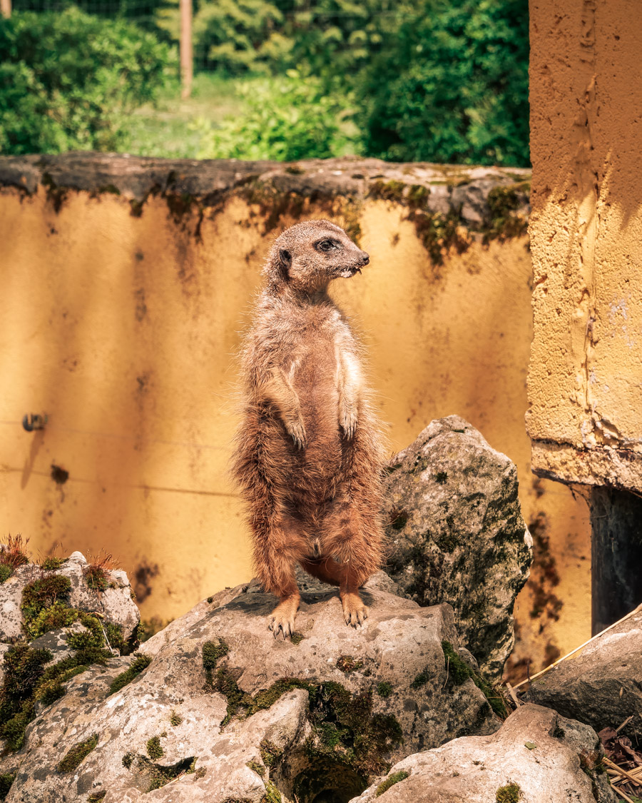 Parc de l'Auxois suricate