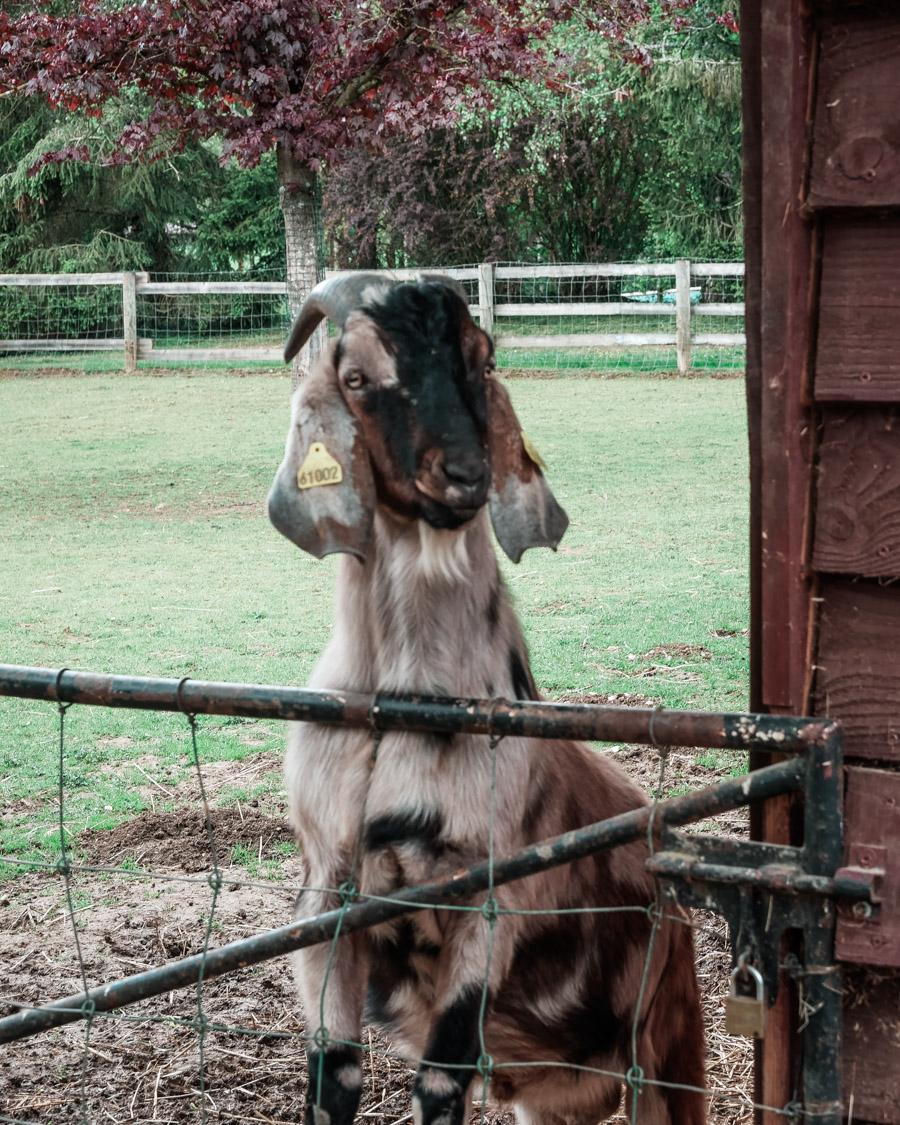 Parc de l'Auxois chèvre