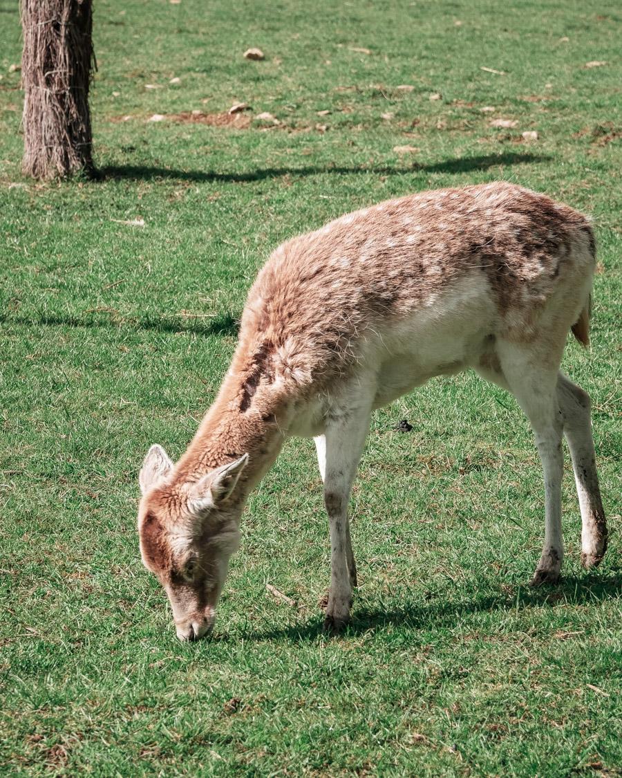 Parc de l'Auxois daim