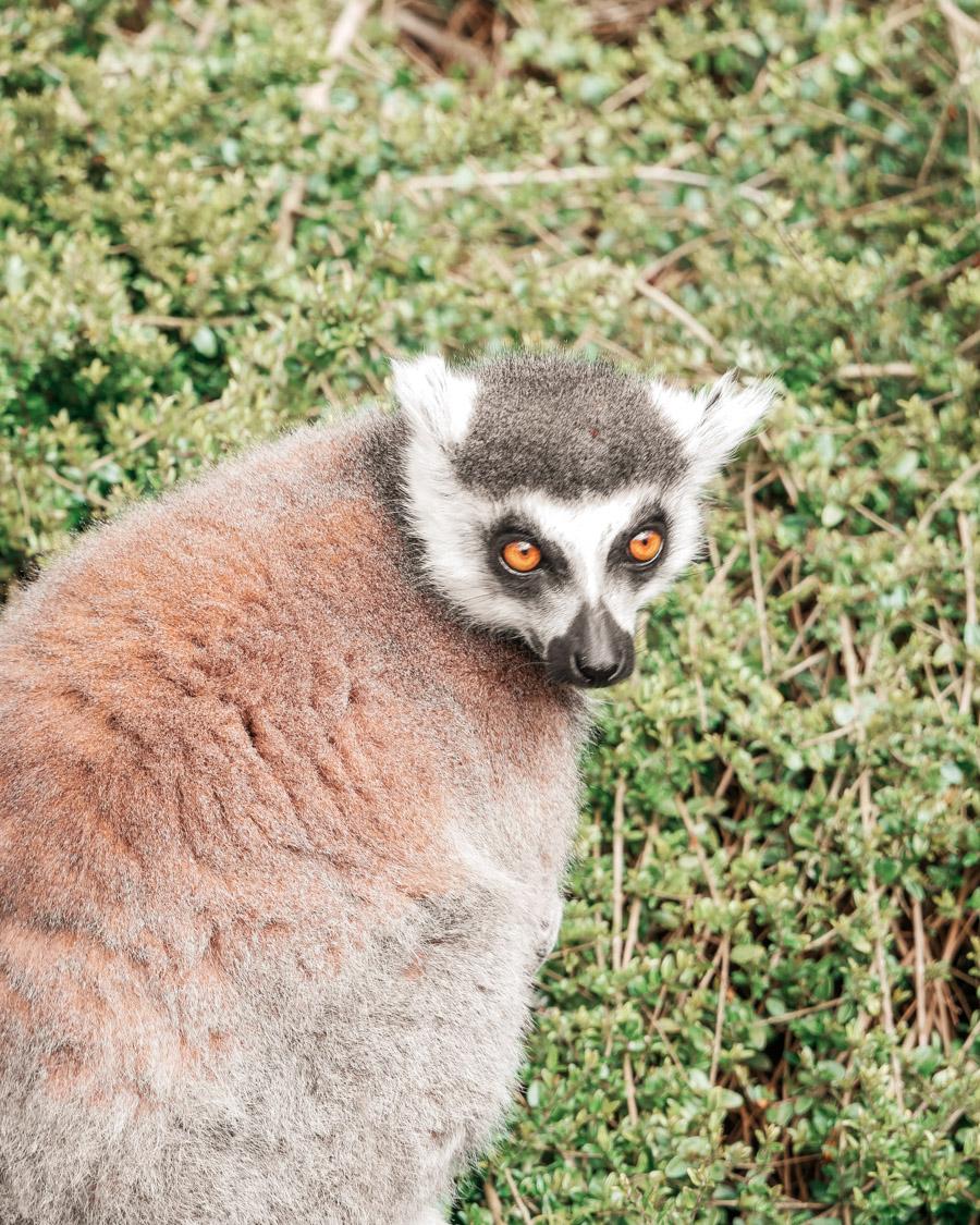 Parc de l'Auxois lémuriens