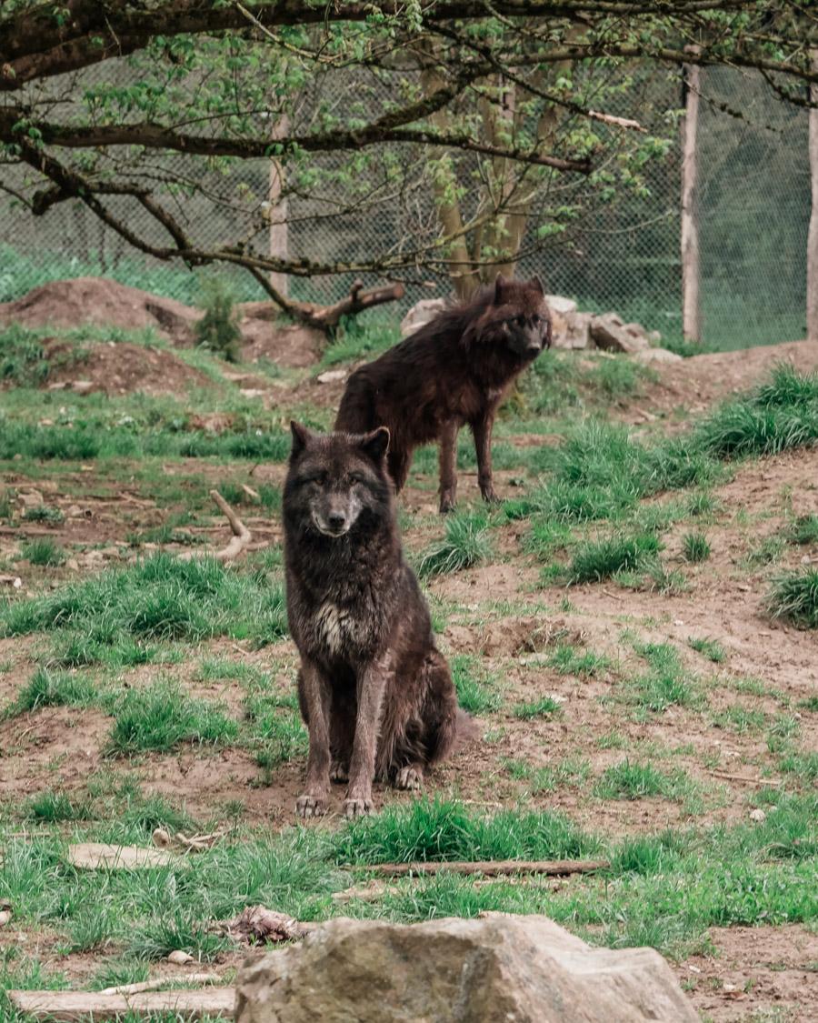 Parc de l'Auxois loups