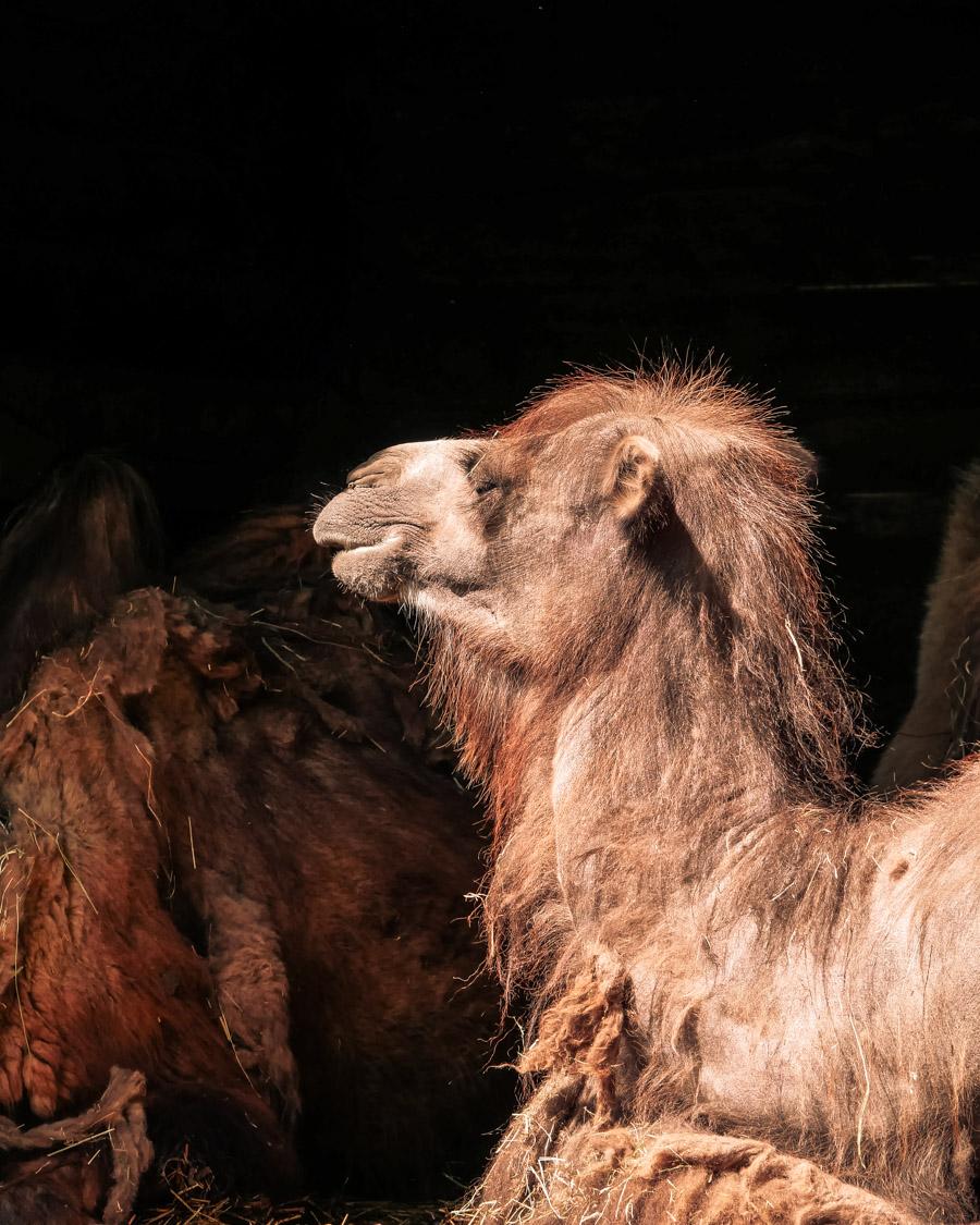 Parc de l'Auxois chameau